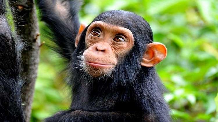 """""""لغز"""" بشري يقتل قردة الشمبانزي"""