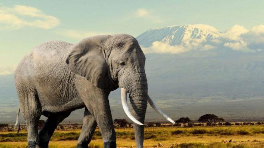ما سر عدم إصابة الأفيال بالسرطان ؟