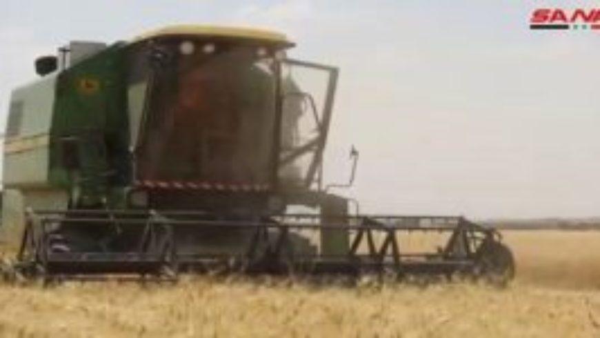 فلاحو دير الزور يبدؤون حصاد محاصيل القمح والشعير