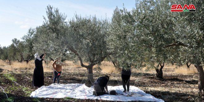 الزراعة تحدد موعد قطاف الزيتون.. وتوصيات لضمان سلامة الثمار وجودة الزيت.موقع أصدقاء سورية.